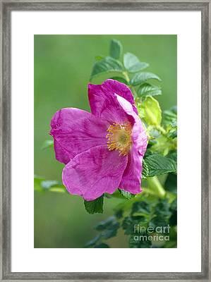 Salt Spray Rose Flower Rosa Rugosa Framed Print by Dr Nick Kurzenko