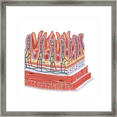 Small Intestine Framed Print by Asklepios Medical Atlas