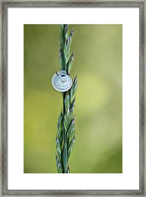 Snail On Grass Framed Print by Nailia Schwarz