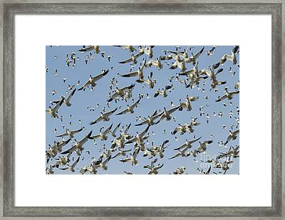 Snow Geese In Flight Framed Print by William H. Mullins