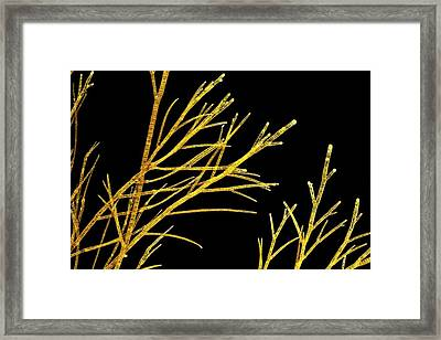 Sphacelaria Brown Alga Framed Print by Gerd Guenther