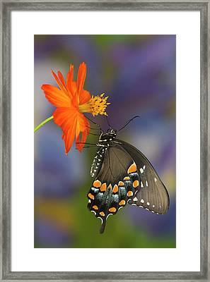 Spicebush Swallowtail Butterfly Framed Print by Darrell Gulin