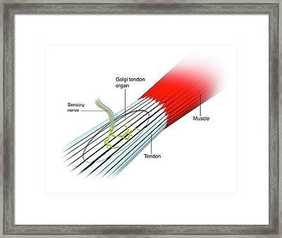 Stretch Reflex Mechanism Framed Print by Mikkel Juul Jensen