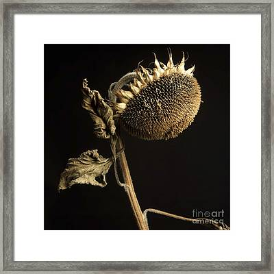 Sunflower Framed Print by Bernard Jaubert