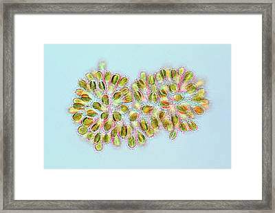 Synura Golden Algae Framed Print by Marek Mis
