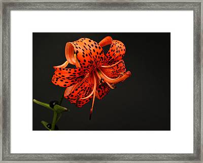 Tiger Lily Framed Print by Sandy Keeton