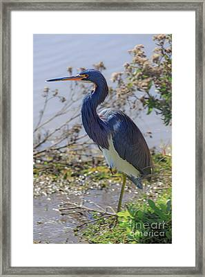 Tricolored Heron Framed Print by Louise Heusinkveld