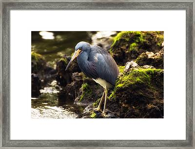 Tricolored Heron Framed Print by Rich Leighton
