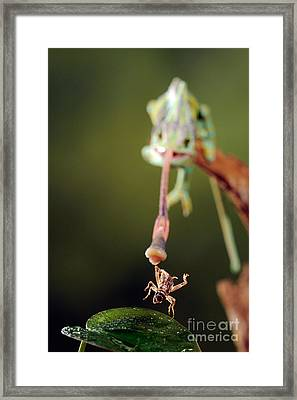 Veiled Chameleon Catches Cricket Framed Print by Scott Linstead
