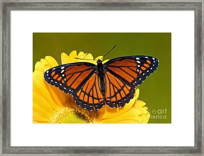Viceroy Butterfly Framed Print by Millard H. Sharp