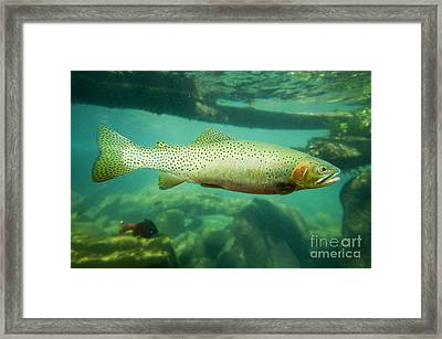 Westslope Cutthroat Trout Framed Print by William H. Mullins