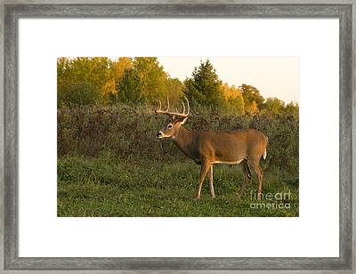 White-tailed Buck In Fall Framed Print by Linda Freshwaters Arndt
