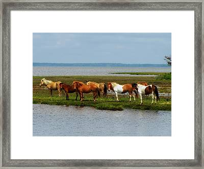 Wild Horses Of Assateague Island Framed Print by Mountain Dreams