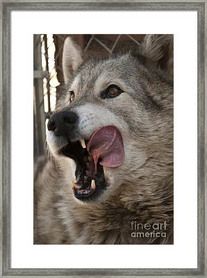 Wolf Framed Print by Juli Scalzi