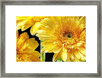 3 Yellow Painterly Gerber Daisies Framed Print by Andee Design