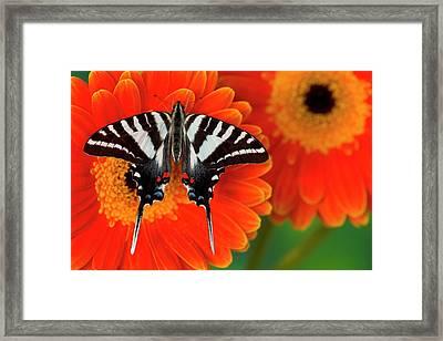 Zebra Swallowtail Butterfly, Eurytides Framed Print by Darrell Gulin