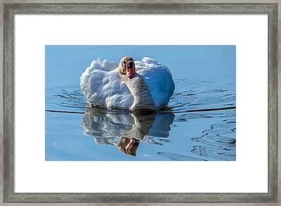 Mute Swan Framed Print by Brian Stevens
