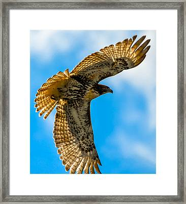 Red-tailed Hawk Framed Print by Brian Stevens