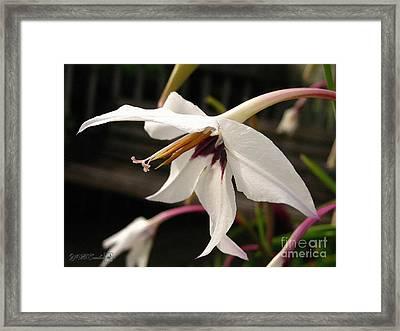 Acidanthera Or Peacock Gladiolus Framed Print by J McCombie