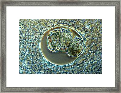 Actinosphaerium Protozoan Framed Print by Marek Mis