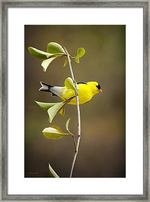 American Goldfinch Framed Print by Christina Rollo