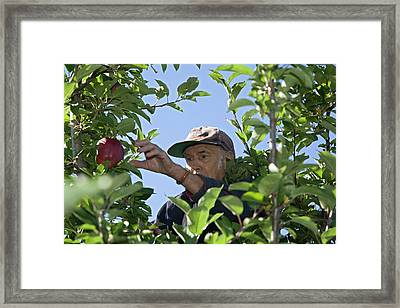 Apple Harvest Framed Print by Jim West