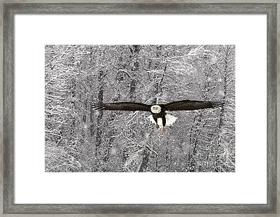Bald Eagle In Flight Framed Print by Ron Sanford