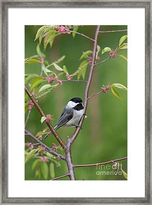 Black-capped Chickadee Poecile Framed Print by Linda Freshwaters Arndt