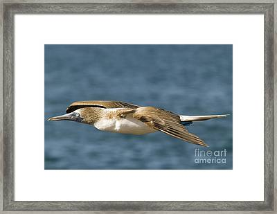 Blue-footed Booby Framed Print by William H. Mullins