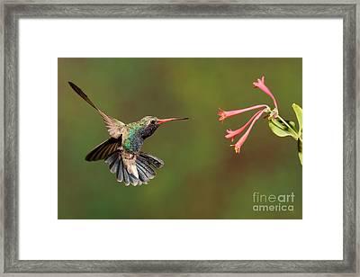 Broad Billed Hummingbird Framed Print by Scott Linstead