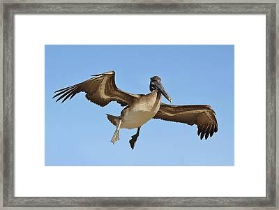 Brown Pelican In Flight Framed Print by Paulette Thomas