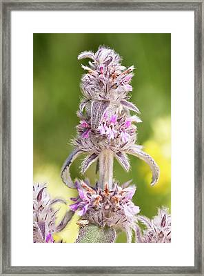 Downy Woundwort (stachys Germanica) Framed Print by Bob Gibbons