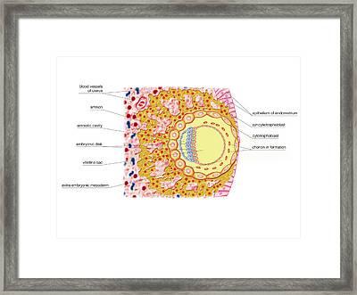 Embryo Formation Framed Print by Asklepios Medical Atlas