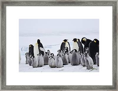 Emperor Penguins, Antarctica Framed Print by Greg Dimijian