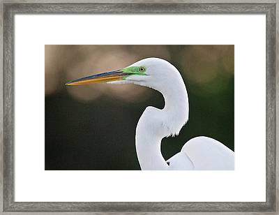 Great Egret Framed Print by Bob Gibbons