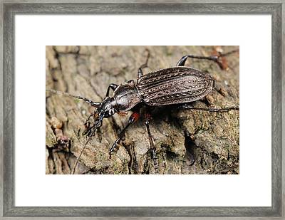 Ground Beetle Framed Print by Science Photo Library