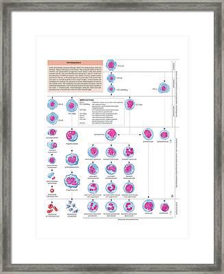 Haematopoiesis Framed Print by Asklepios Medical Atlas