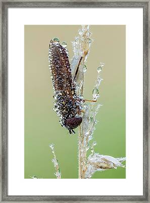 Hoverfly Framed Print by Heath Mcdonald