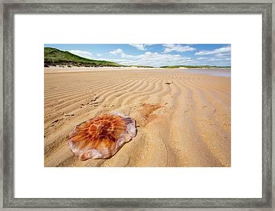 Lions Mane Jellyfish Framed Print by Ashley Cooper