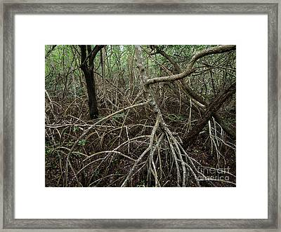 Mangrove Roots Framed Print by Tracy Knauer
