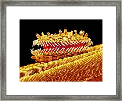Moth Proboscis Framed Print by Susumu Nishinaga