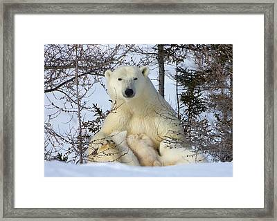 Mother Polar Bear With Three Cubs Framed Print by Keren Su