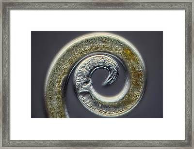 Nematode Framed Print by Frank Fox