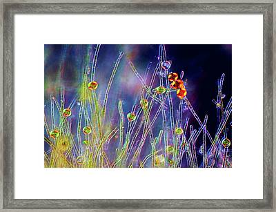 Oedogonium Green Algae Framed Print by Marek Mis