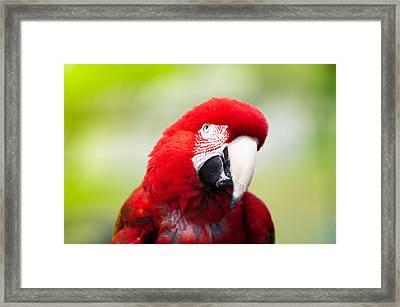 Parrot Framed Print by Sebastian Musial