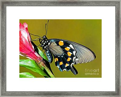 Pipevine Swallowtail Butterfly Framed Print by Millard H. Sharp