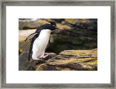 Rockhopper Penguin Framed Print by John Shaw