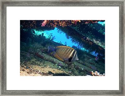 Sailfin Tang Fish Framed Print by Georgette Douwma