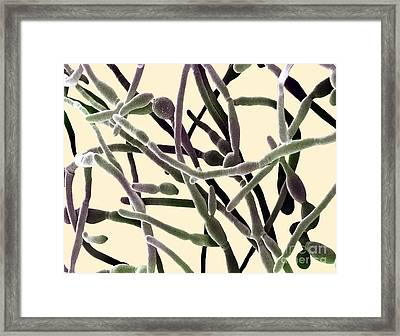 Scanning Electron Micrograph Of Candida Framed Print by David M. Phillips