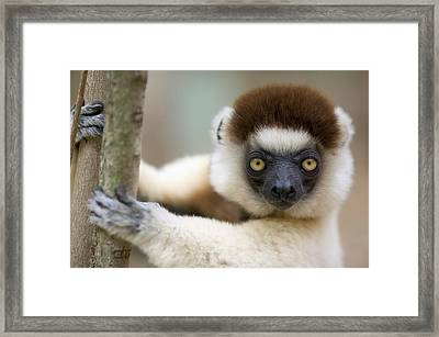 Verreauxs Sifaka In Berenty Framed Print by Cyril Ruoso
